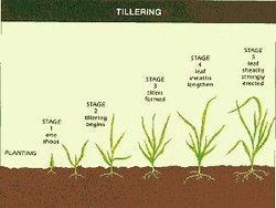 Tillering Feekes Scale of Wheat Development