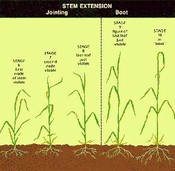 Stem Extension Feekes Scale of Wheat Development