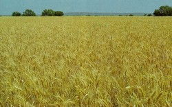 Ripening Feekes Scale of wheat development