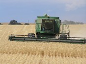 California wheat harvest